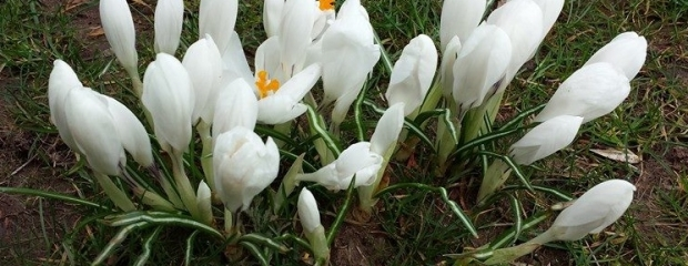 Crocus spring in to action
